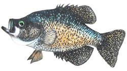 Lake of the Woods Crappie
